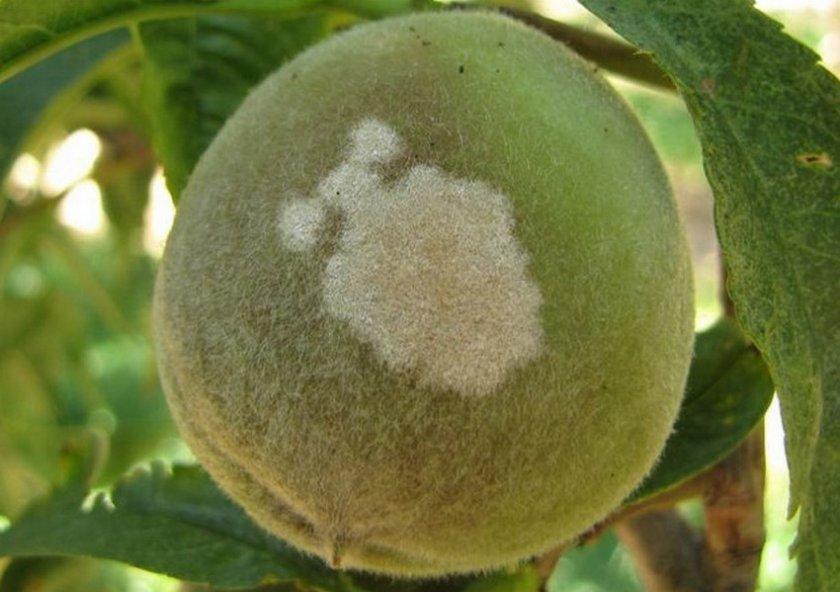 Мучнистая роса персика