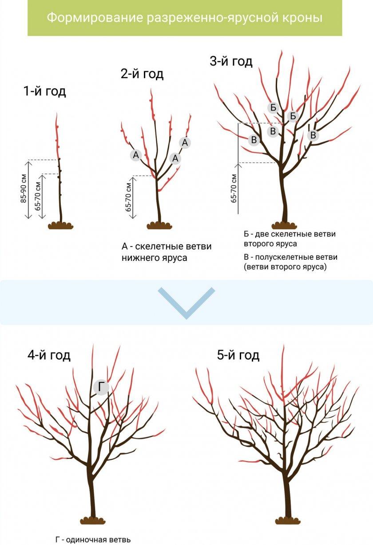 Схема обрезка персика по годах