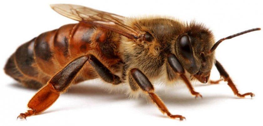 Матка пчёл