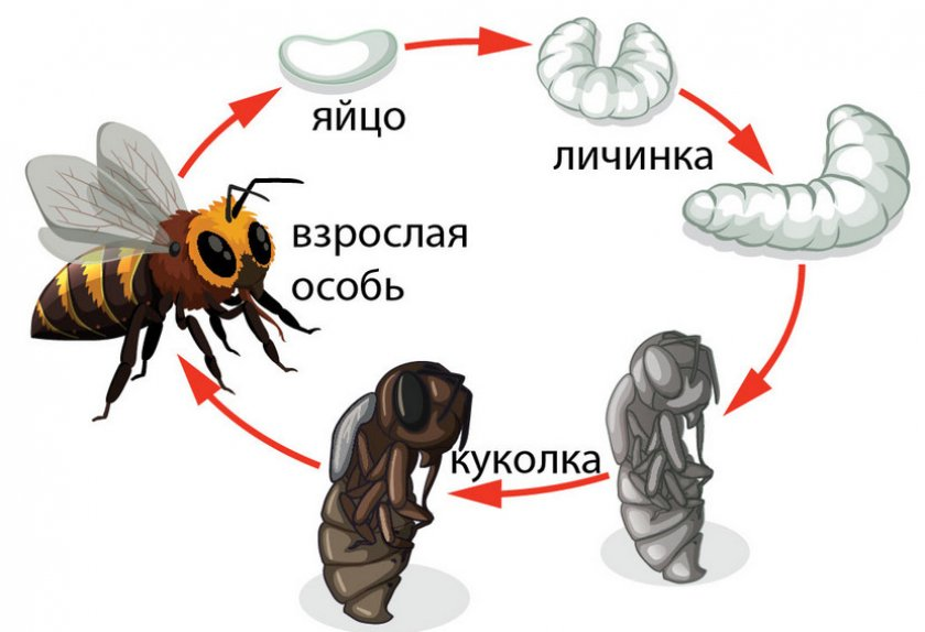 Стадии развития пчелы
