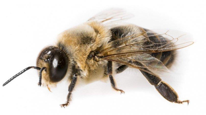 Трутень пчёл