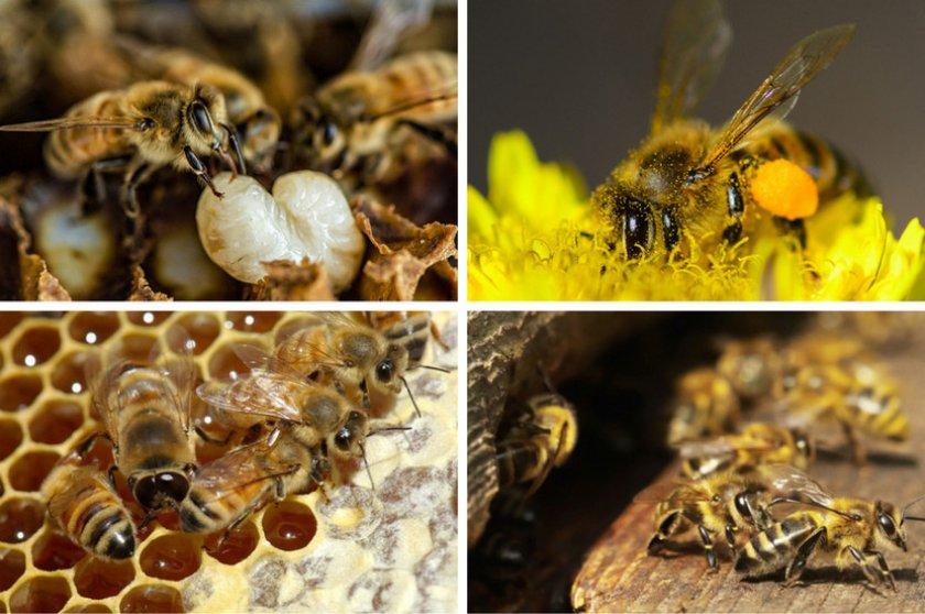 Основная работа рабочей пчелы