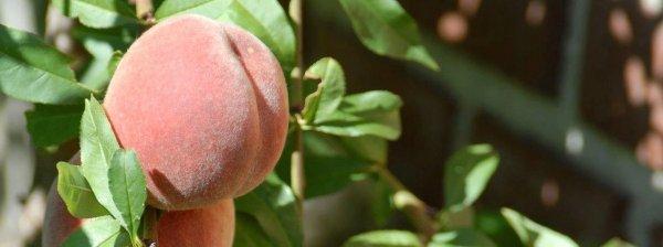 Выращивание персиков и нектаринов в Подмосковье: критерии выбора сорта, популярные разновидности, сроки и правила посадки, особенности агротехники