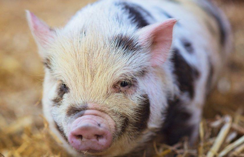 Закарпатская Госпродпотребслужба отчиталась об АЧС и бешенстве животных в области