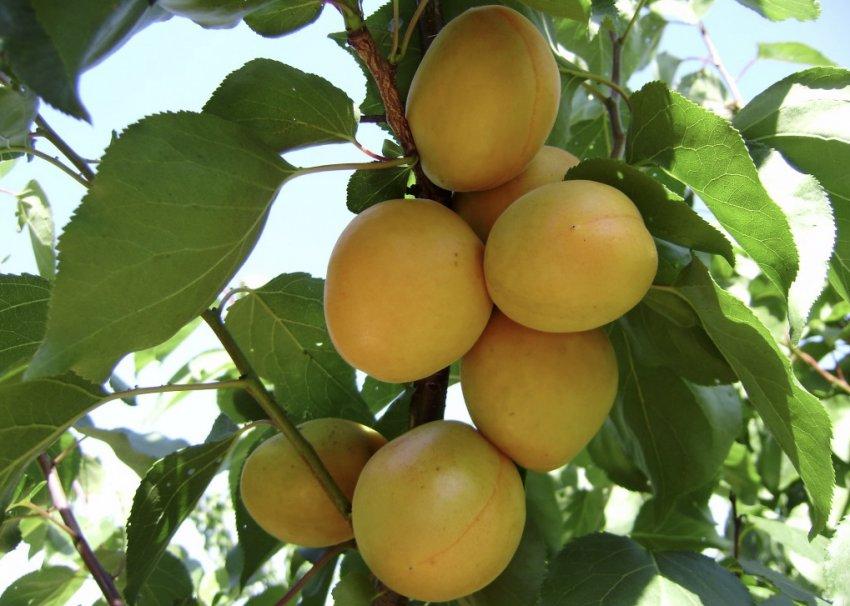 Недозревшие абрикосы сорта Амур