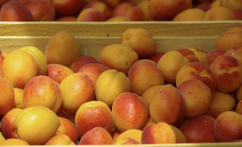 Урожай абрикоса Амур