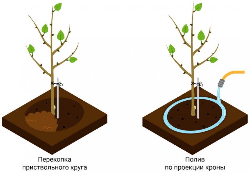Схема полива плодового дерева