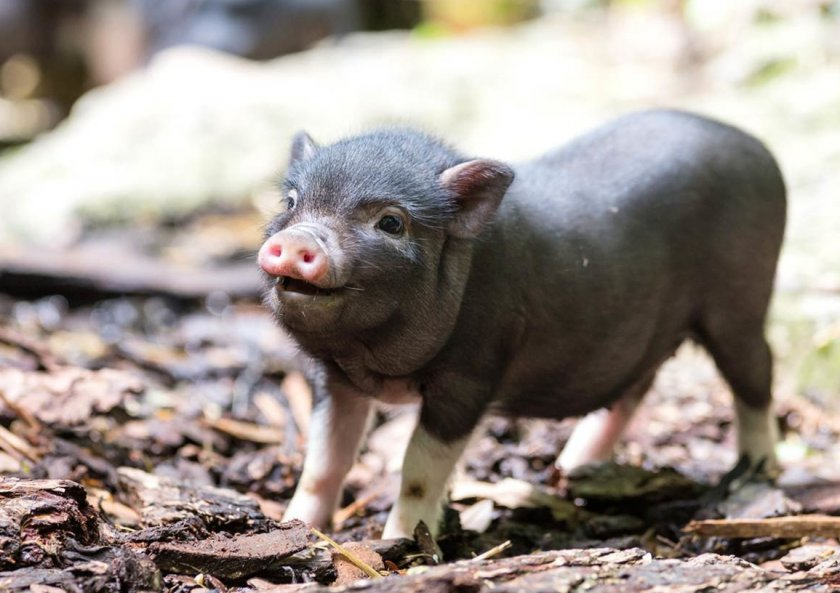 Не от хорошей жизни: Приморский край распрощался с промышленным свиноводством