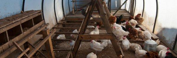 Содержание кур в теплице зимой – можно ли оборудовать курятник в теплице из поликарбоната