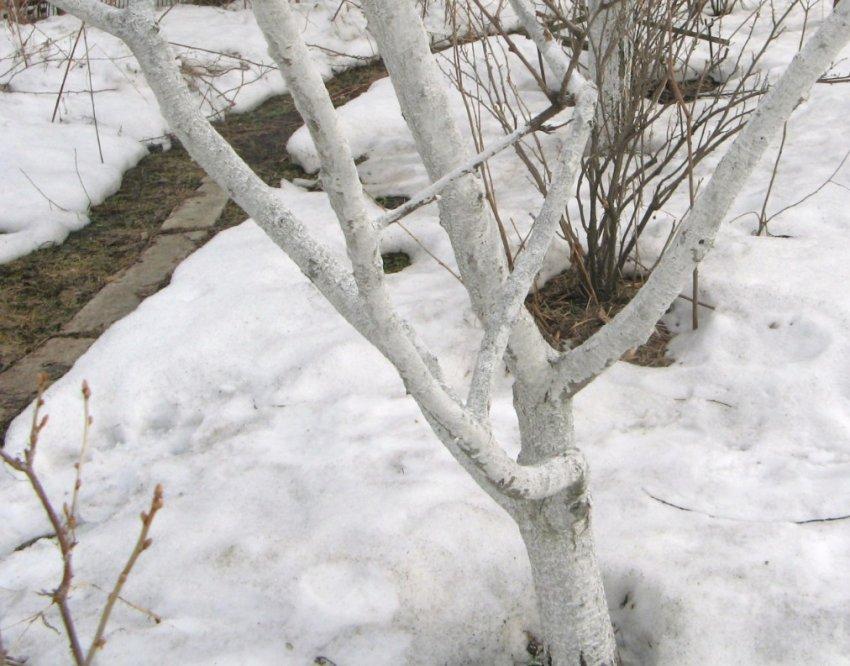 Абрикос зимой