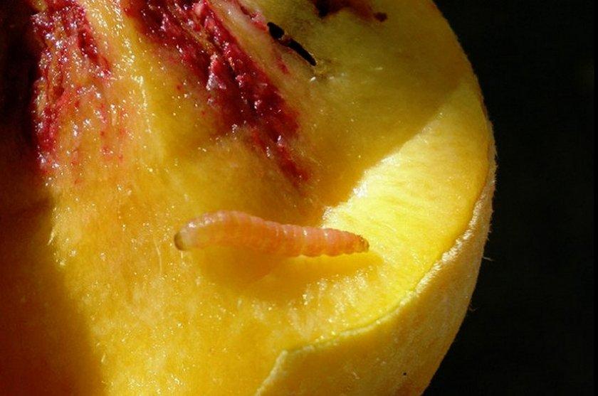 Плодожорка на абрикосе