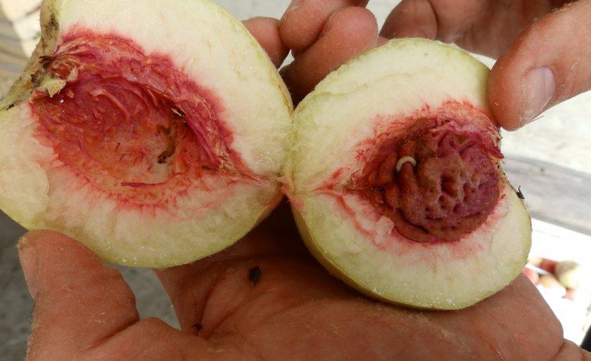Личинка фруктовой моли