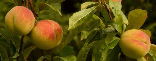 Клещ на персике чем обработать