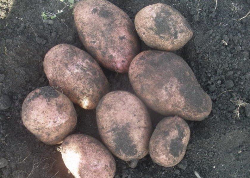 картофель каменский описание сорта фото словам президента
