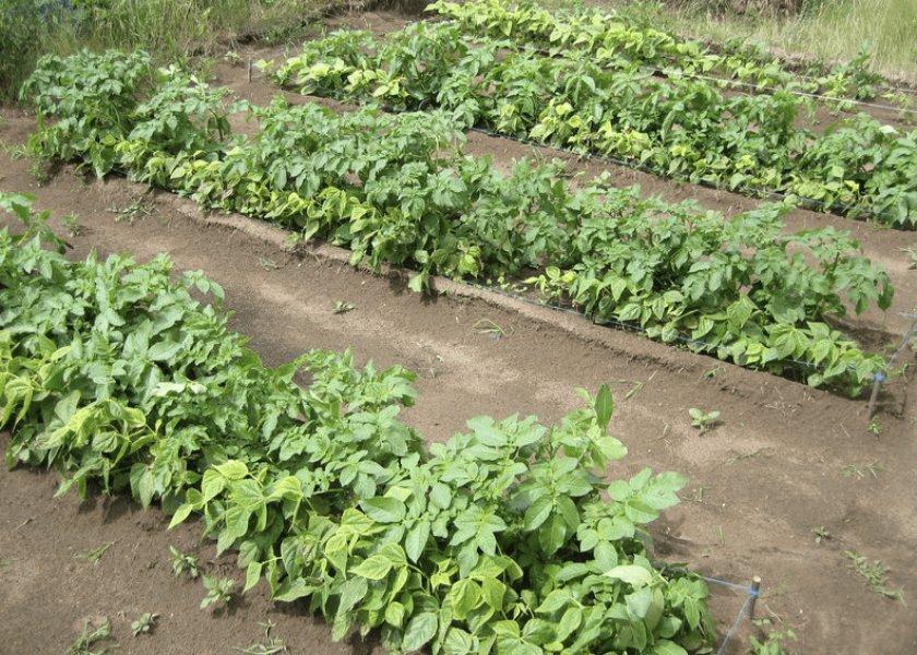 Посадка картофеля по методу Миттлайдера