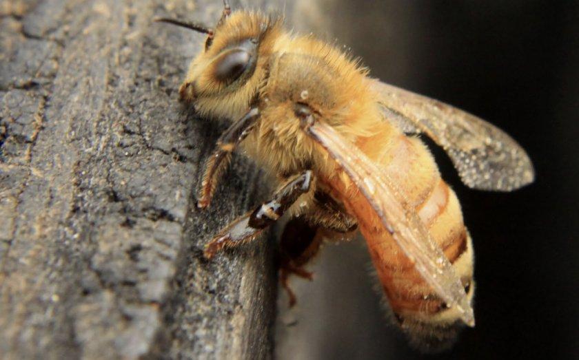 перед фото пчелы итальянки шокера тоже достаточно