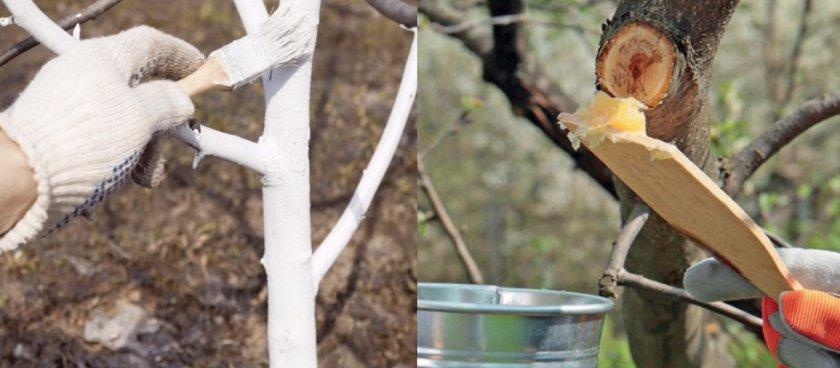 Побелка ствола абрикоса и замазывание садовым варом