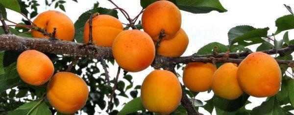 Сорт абрикоса Лимонка описание и характеристика урожайность и выращивание