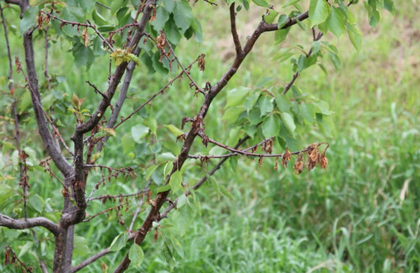 Вертициллёзное увядание абрикоса