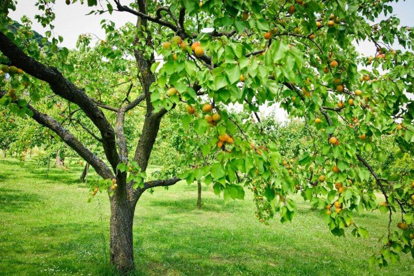 Абрикосовое высокорослое дерево Викинг