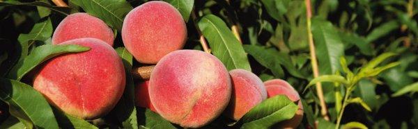 Персик поздний описание сорта