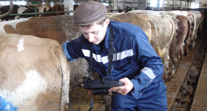 Ультразвуковое исследование коровы