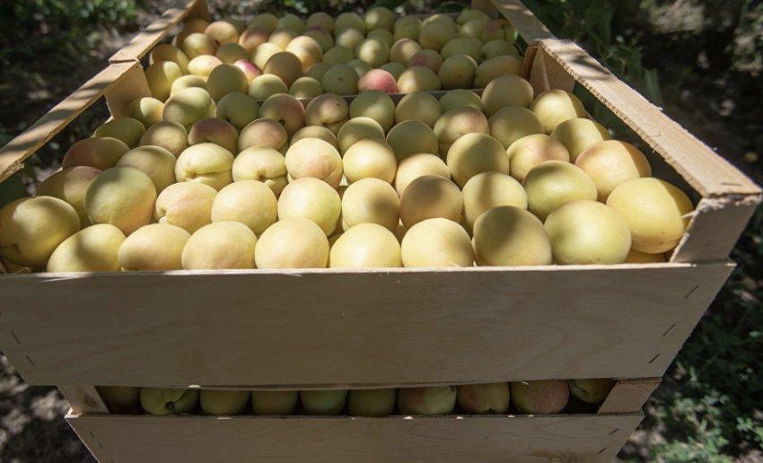 Урожай абрикосов