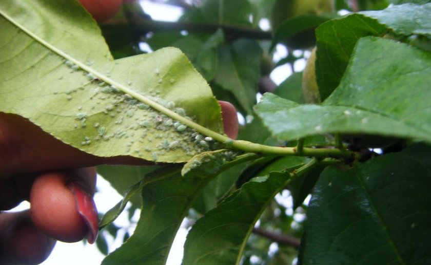 Тля на персике