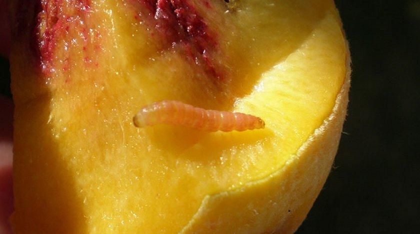 Гусеница восточной плодожорки на персике