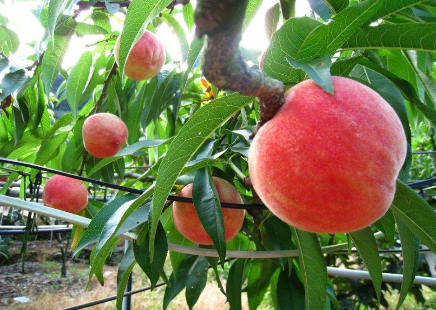 Персик сорта Биг Хани