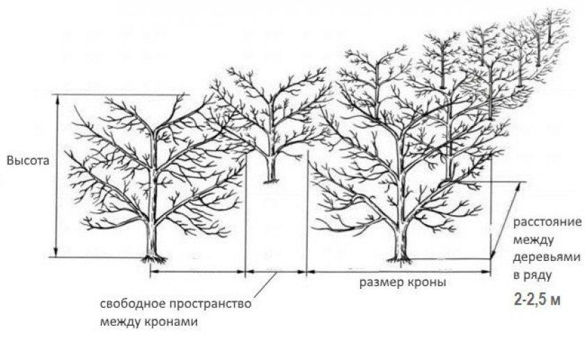 Схема посадки нескольких деревьев персика