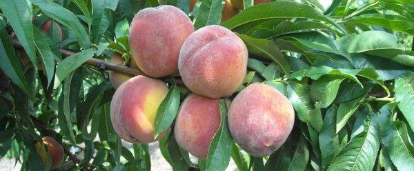 Плодовые деревья - персик. Как правильно сажать персик, обрезка, обработка от болезней и вредителей