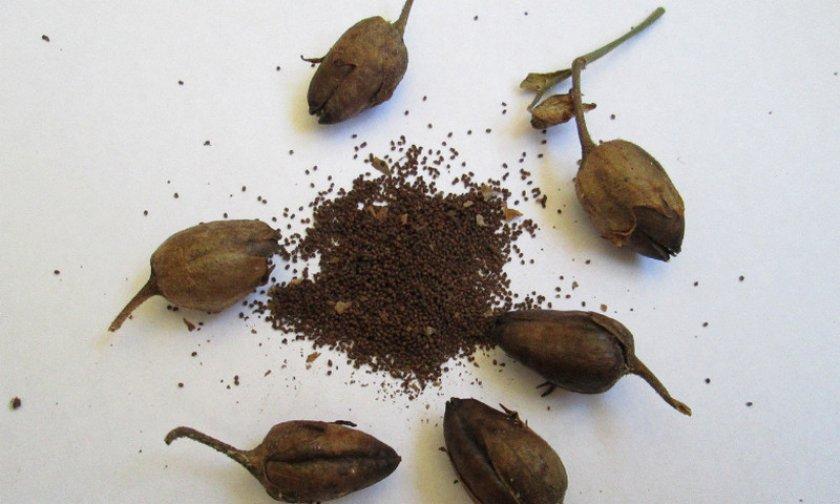 Табачные семена