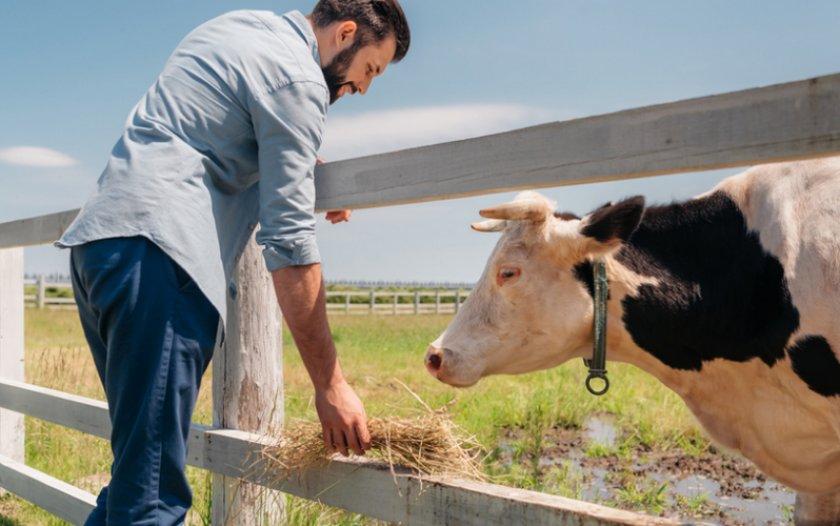 Кормление коровы сеном перед доением