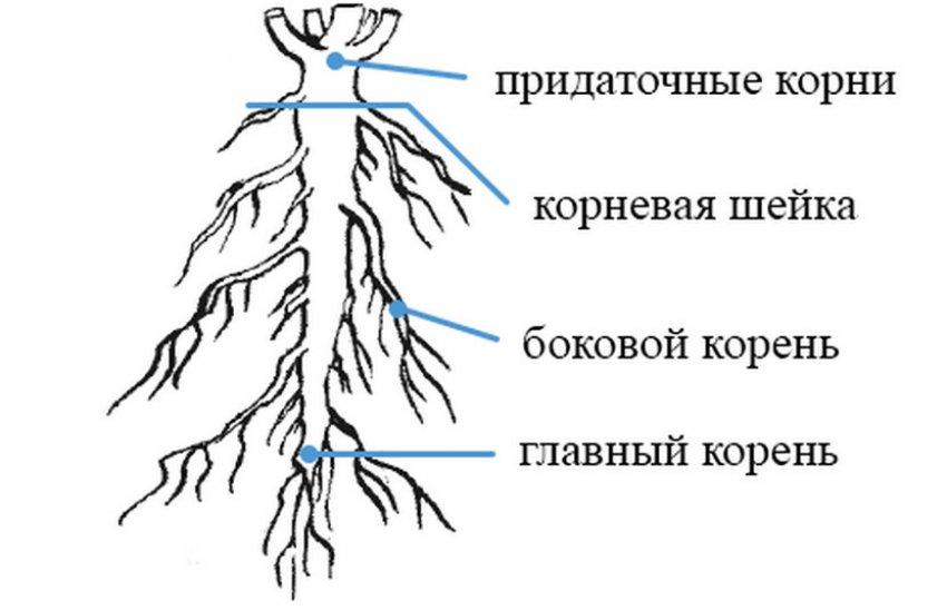 Схема корня
