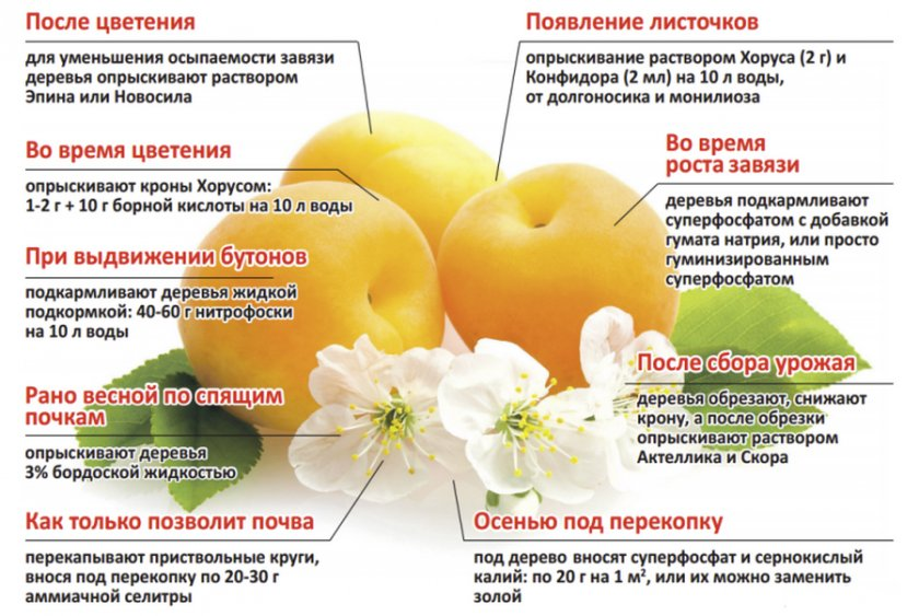 Правила подкормки абрикосов