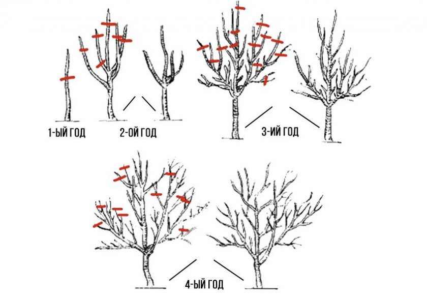 Формировка абрикосового дерева по годам
