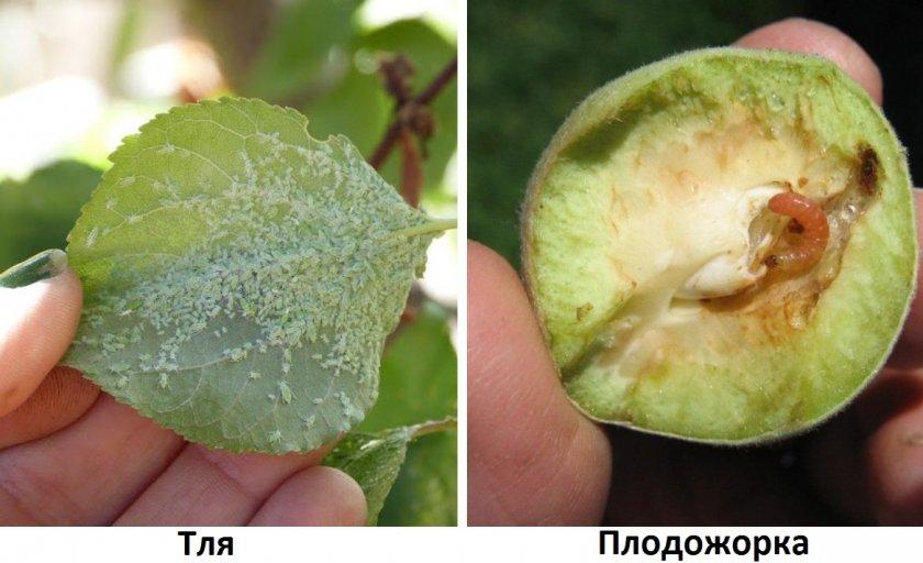 Вредители абрикоса