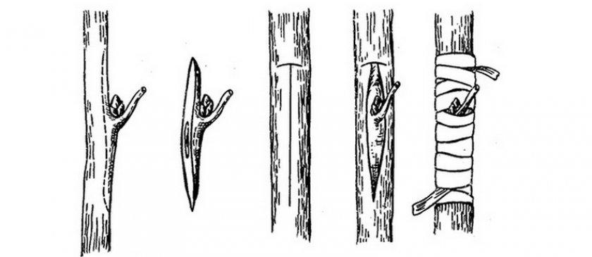 Окулировка или прививка глазком