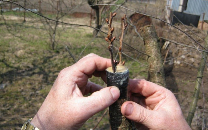 Процедура прививки фруктового дерева на алычу