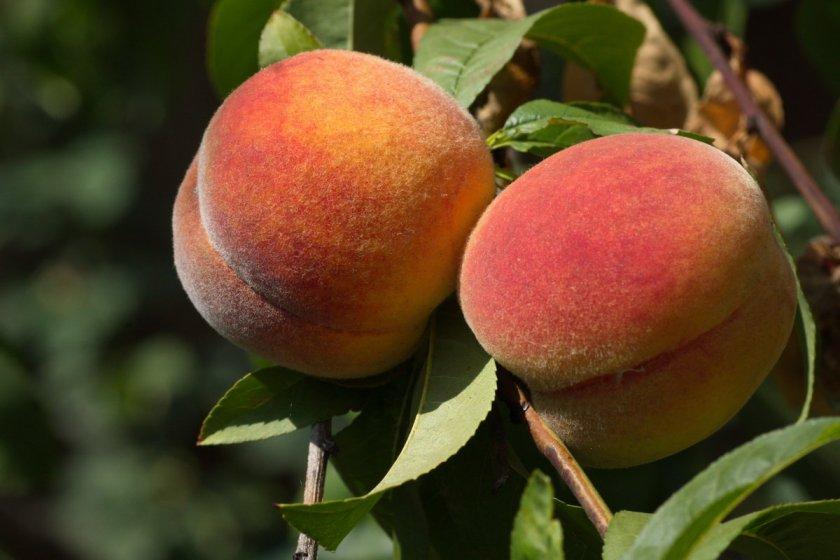 Персики сорта Перстень