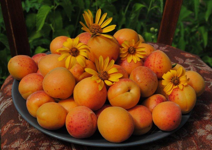 Урожай абрикос Жигулёвский сувенир