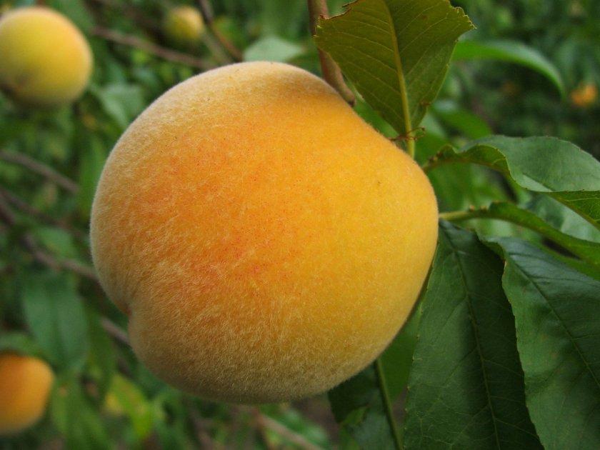 Персик Донецкий жёлтый
