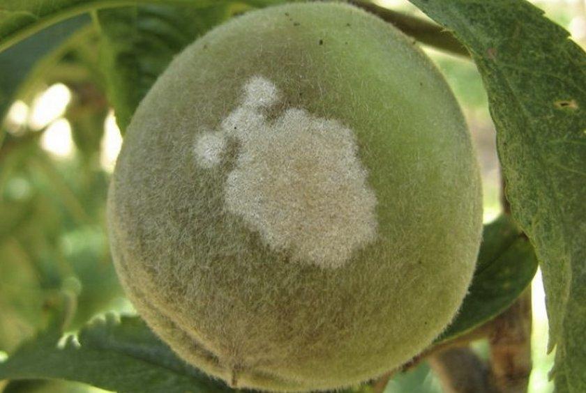 Мучнистая роса на персике