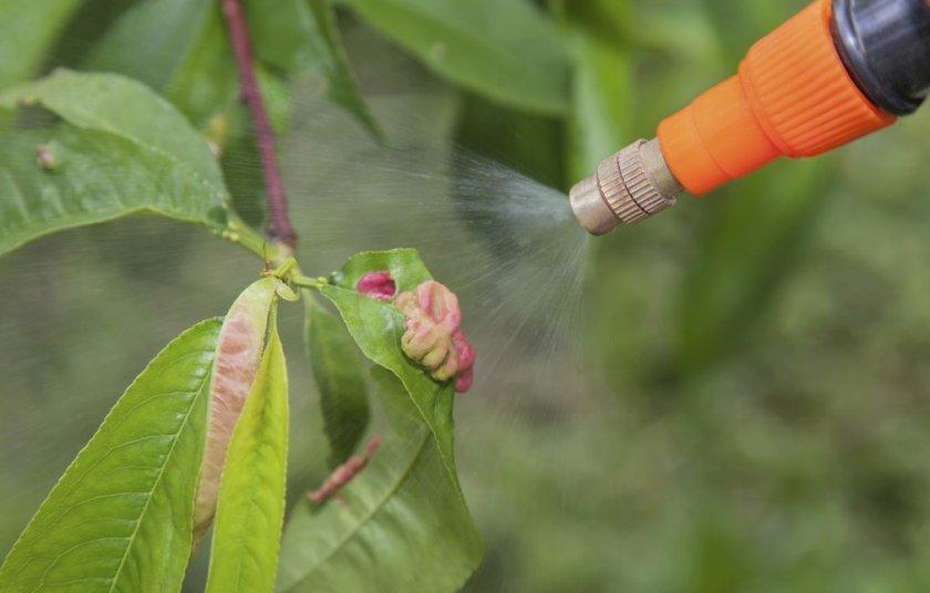 Опрыскивание листьев персика