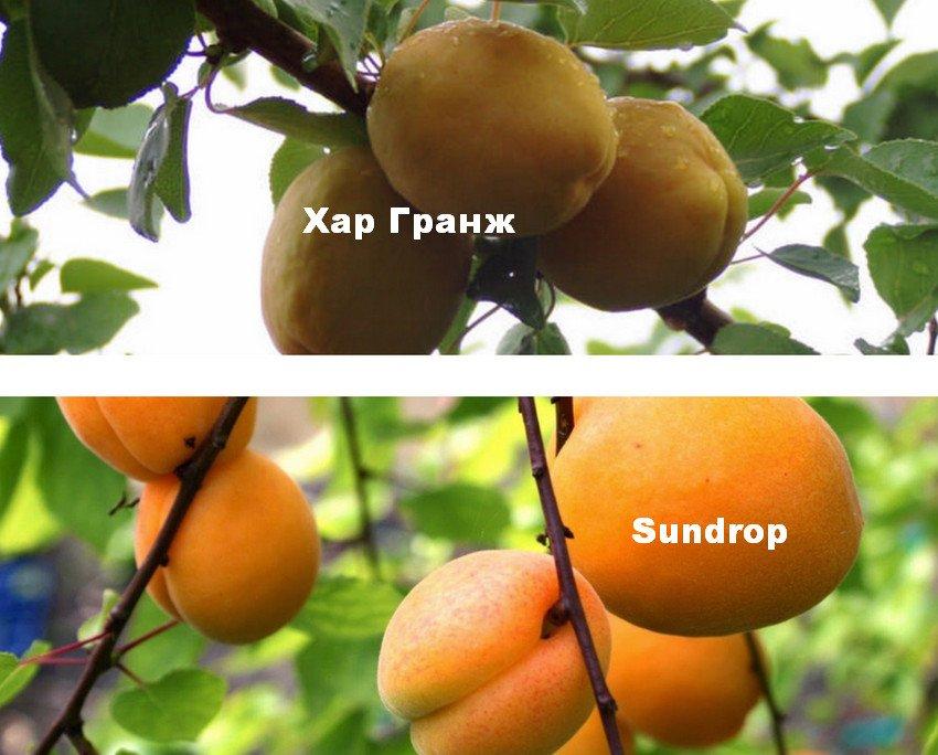 Сорта абрикос для опыления