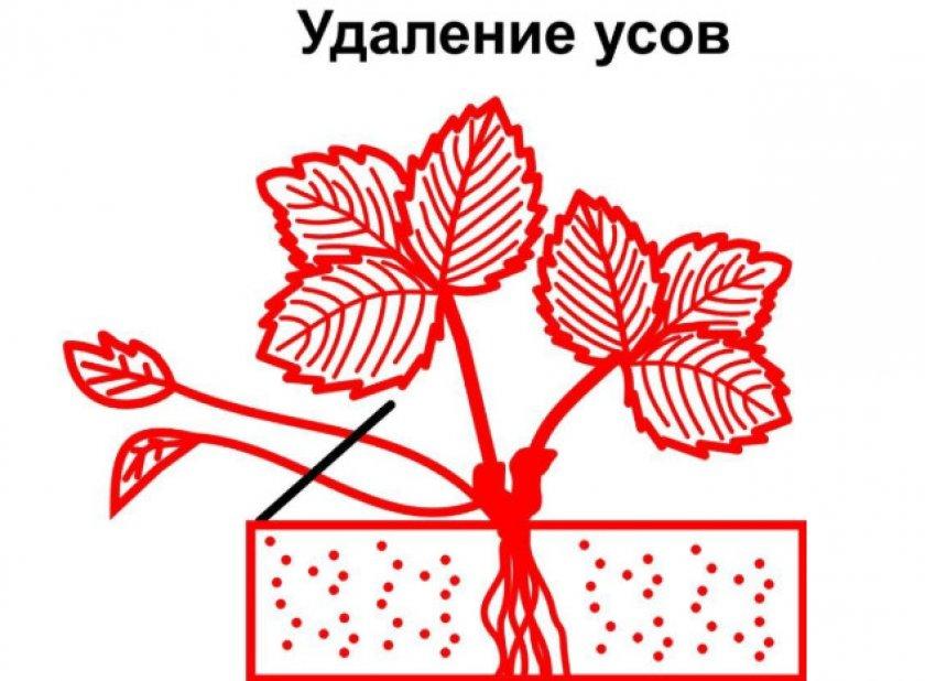 Схема обрезки усов