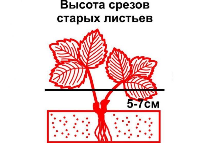 Схема обрезки листьев клубники