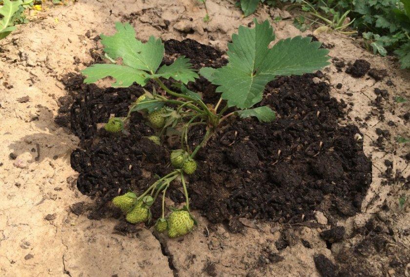 Удобрение клубники компостом