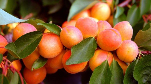Характеристики сорта абрикосов Чемпион Севера описание плодов и морозоустойчивости
